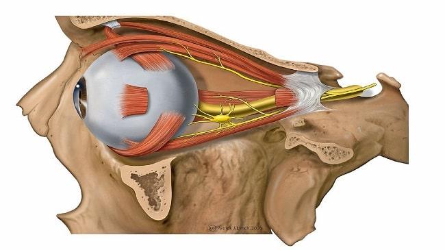 آناتومی عصبی بینایی
